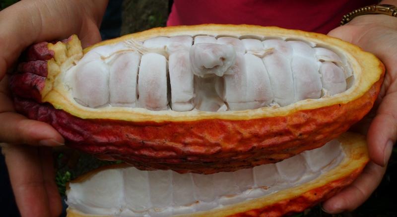 Kakaopflanze